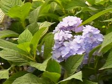 hydrangeas offer variety of big impact flowers