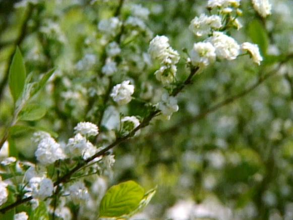 spirea requires very little care and maintenance