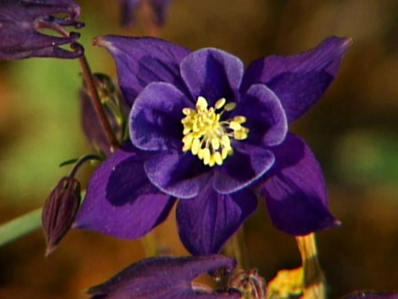 columbines are perennials that bloom in spring