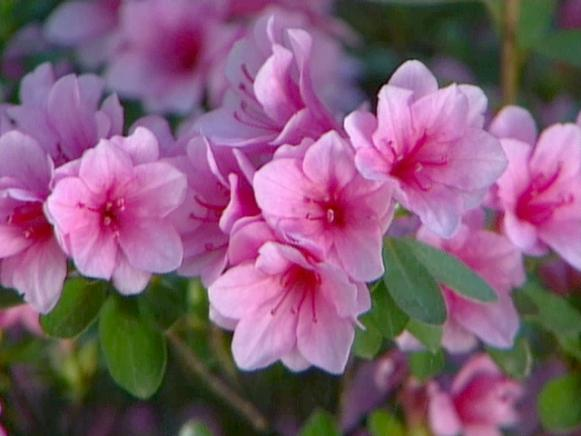 azaleas make a dazzling dislay of flowers