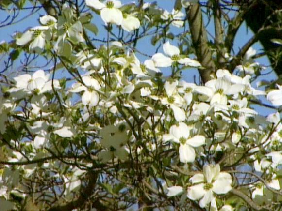 a favorite among blooming trees is the dogwood