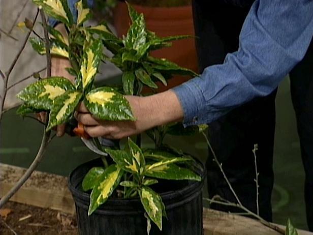 pruning will rejuvinate shrub