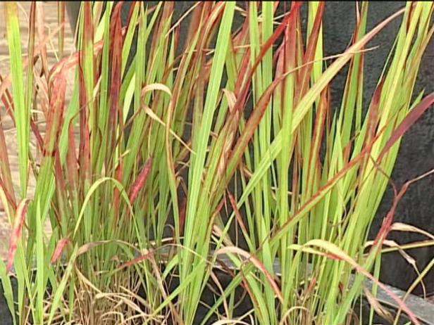 japanese blood grass is banned in 9 states