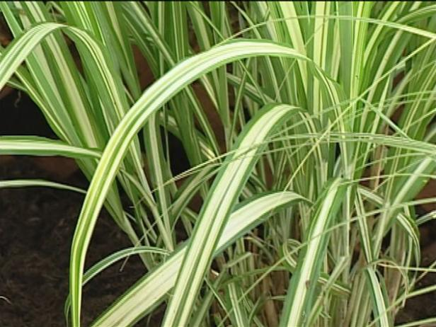silver maiden grass is ornamental but invasive