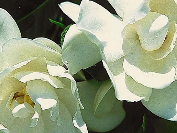 august beauty gardenia has fragrant flowers