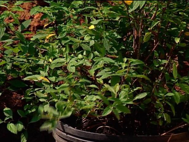 shirobana spirea is on invasive watch list
