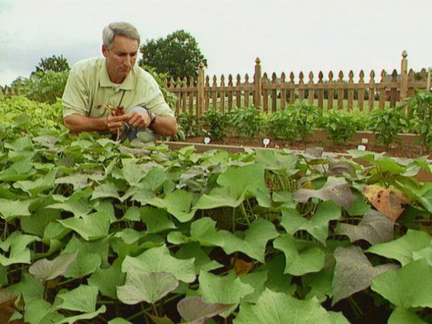 Plant Pea Seeds