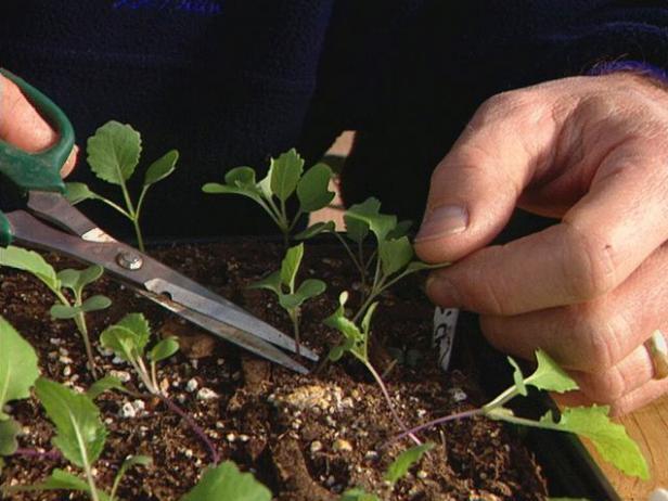 thin the seedlings using sharp clean scissors