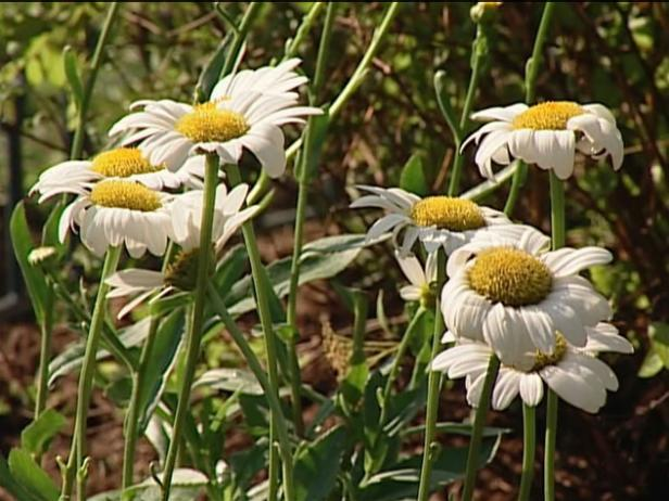 becky shasta daisy has large white daisy flowers