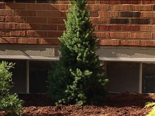 dwarf white spruce is conical evergreen shrub