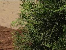 eastern arborvitae has tight pyramidal shape