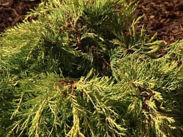 Old Gold or Chinese Juniper is spreading evergreen