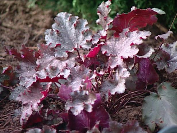 stormy seas coral bells has plum colored foliage