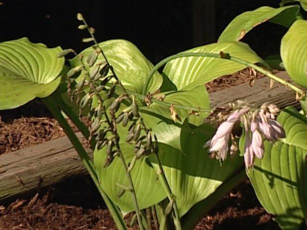 hosta sum and substance has chartreuse leaves