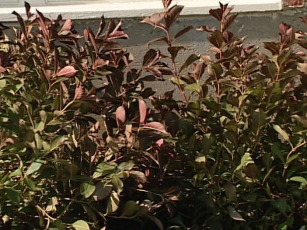 weigela wine and roses is small deciduous shrub