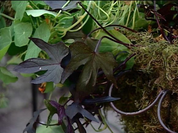 black sweet potato vine is vigorous trailing vine