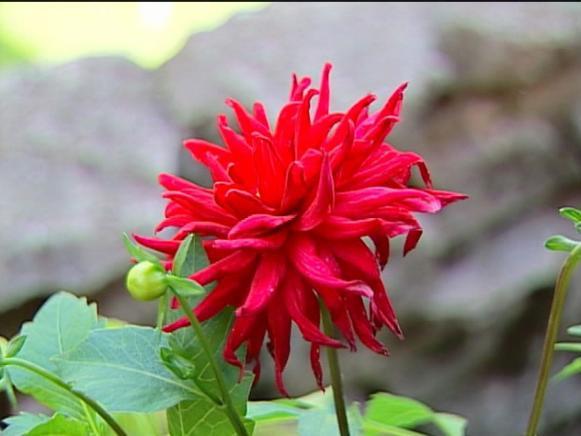 red pygmy dahlia has bright red daisy like flower