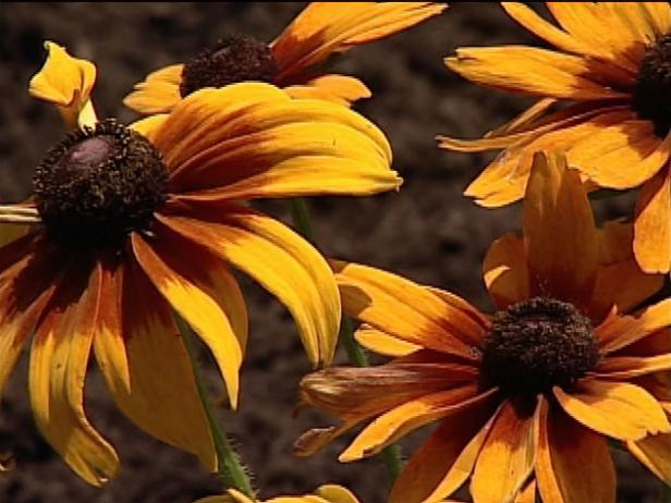autumn colors gloriosa has bronze daisy flowers