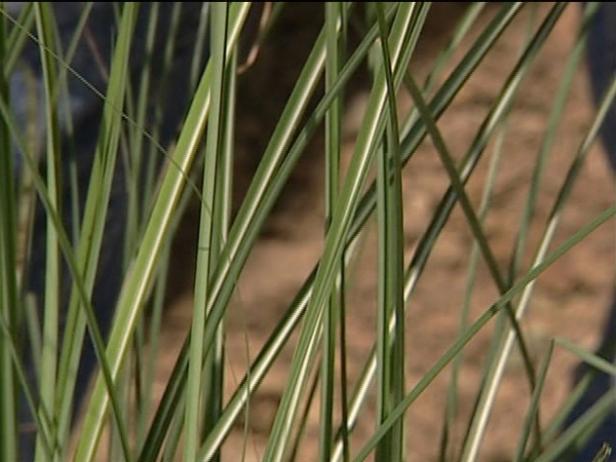 maiden grass is non native invasive grass