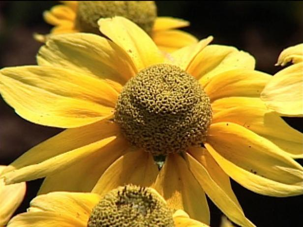 prairie sun gloriosa has large daisy like flowers
