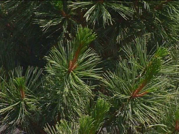 vanderwolf pine has blue green twisted needles