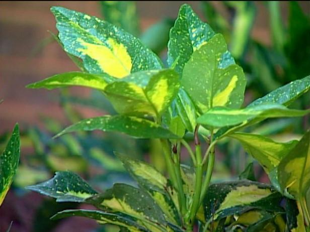aucuba is evergreen shrub with shiny green foliage