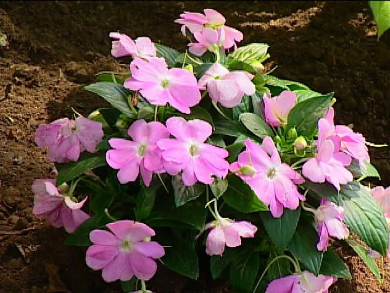 More plant shopping diy for New guinea impatiens