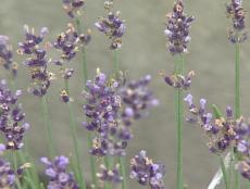 lavender hidcote has spikes of purple flowers