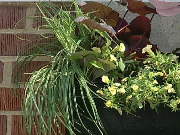 silver sceptre sedge has grass like foliage