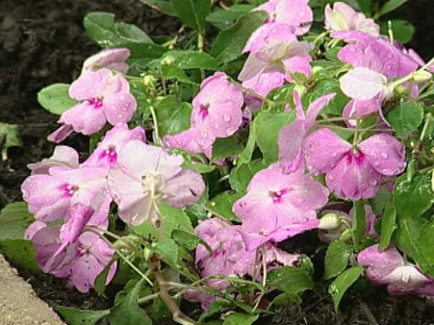 impatiens super elfin has pink or blue flowers