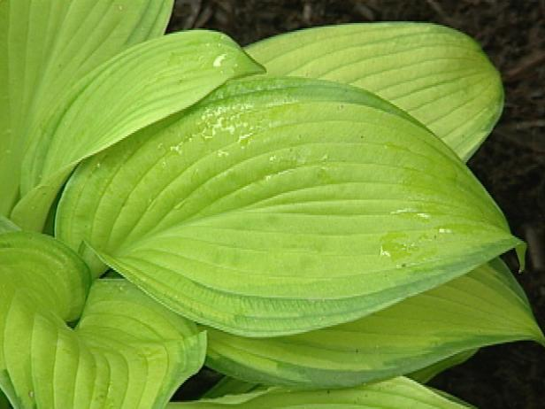 inniswood hosta has corrugated blue green foliage