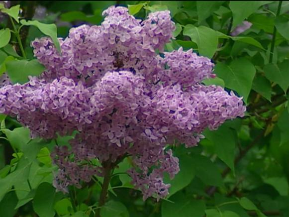 asessippi lilac has fragrant pale lavender blooms