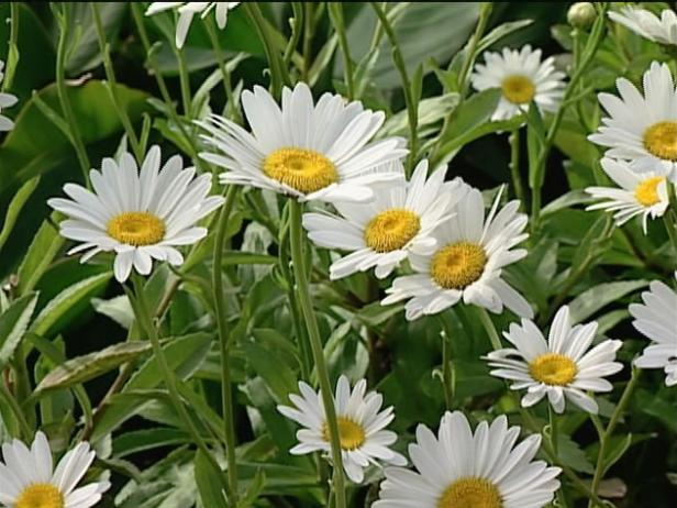 white night shasta daisy is herbaceous perennial