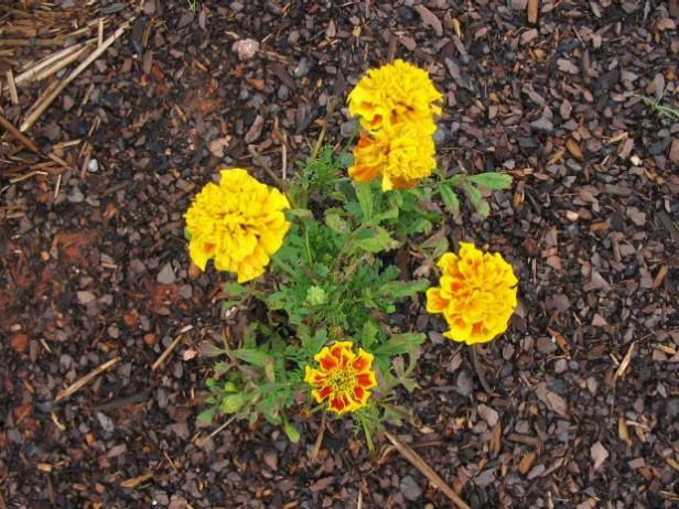 marigolds are rumored to repel nematodes