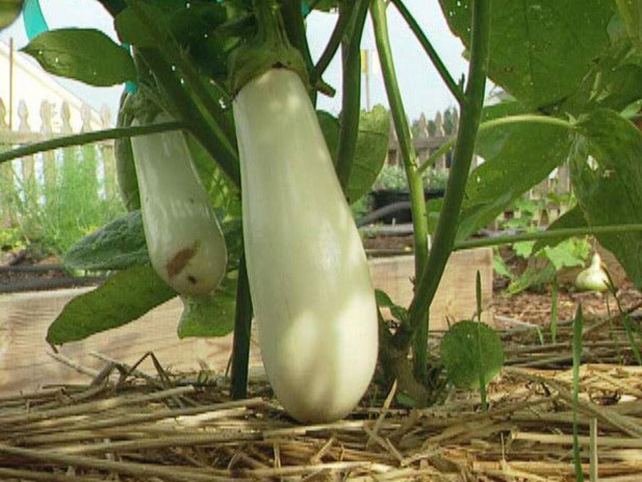 how to grow eggplants how tos diy