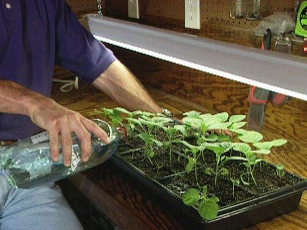 Fertilize Eggplant Seedlings
