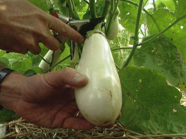 Harvest Eggplant with Pruning Shears