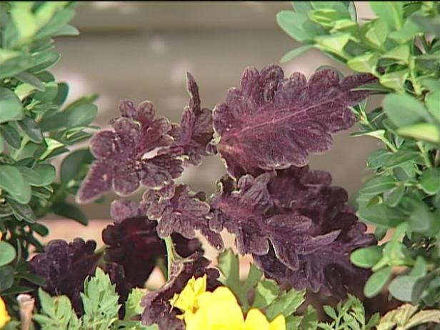 coleus has brightly colored foliage