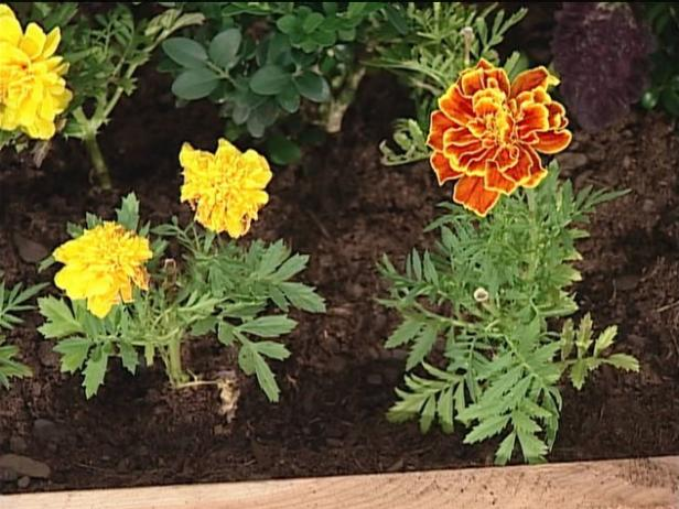 marigold safari has carnation like double flowers