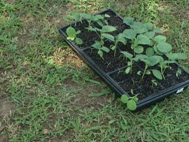 Gradually Introduce Eggplant Seedlings to the Outdoors