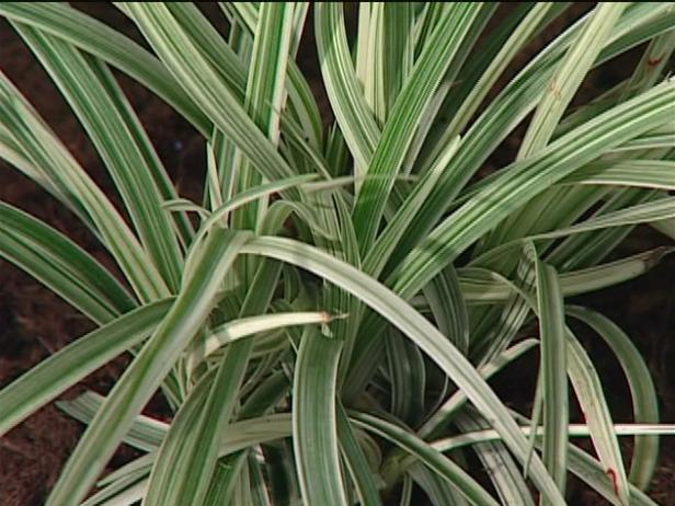 variegated lily turf has linear foliage