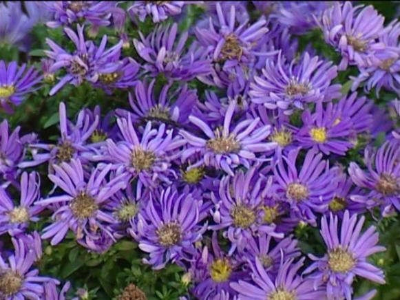 celeste aster is native, fall blooming perennial