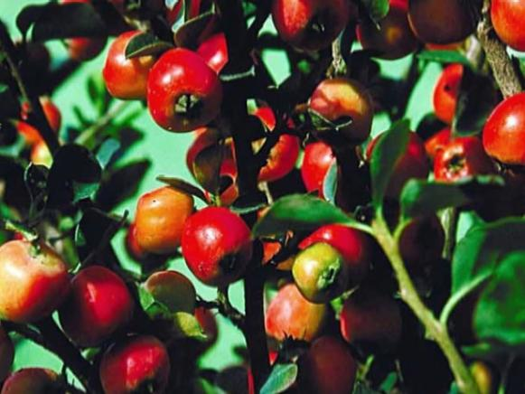 cranberry cotoneaster has red fruit in fall