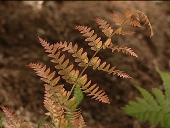 autumn fern bronze foliage changes to green
