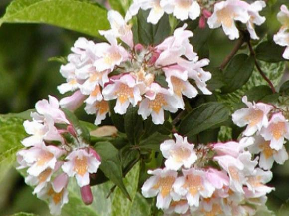 beautybush has pale pink flowers in early summer