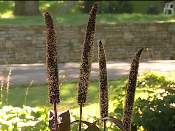 ornamental purple millet is an ornamental gras