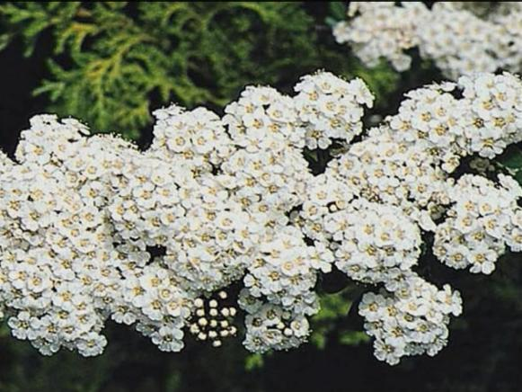 snowmound spirea maintains neat rounded form
