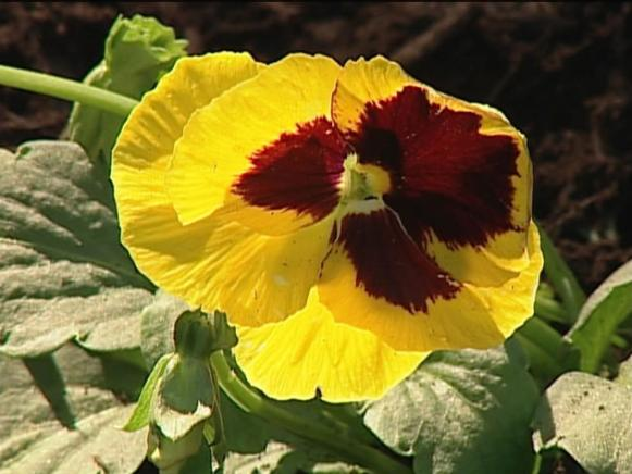 pansy is often grown as winter annual