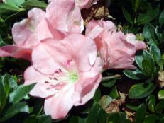 gumpo pink azalea has bright pink flowers