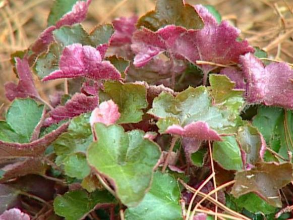 palace purple coral bells has deep purple foliage